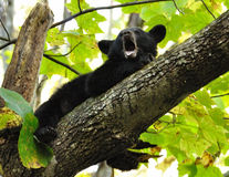 Baby Black Bear yawns as he lays in a tree limb. Stock Image
