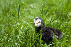 Baby black chicken Royalty Free Stock Photography
