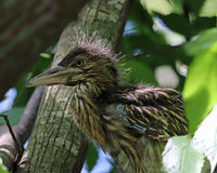 Baby Black-crowned night heron Royalty Free Stock Photography