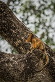 Baby black howler monkey looking up tree Stock Photos