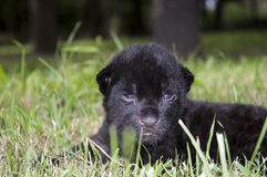 Baby black jaguar (Panthera onca) Stock Photo