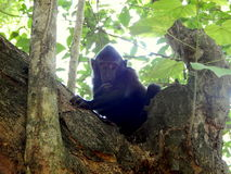 Baby black monkey on tree Stock Photography