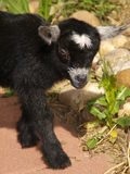 Baby Black Pygmy Goat. Color image of a black baby goat Stock Photos