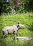 Baby black Rhino. A baby black rhino exploring its surroundings stock image