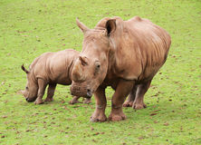 Baby Black Rhino and mother. Black rhino together in a national park on grass stock image