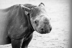 Baby black rhino. Young baby black rhino looking at camera with a little cute look royalty free stock images