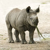 Baby Black Rhinoceros Royalty Free Stock Photos