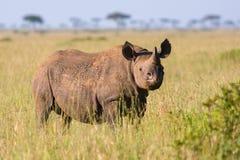 Baby Black Rhinoceros, Masai Mara, Kenya. A 2 year-old Black Rhinoceros calf, standing in long grass in Masai Mara, Kenya stock photography