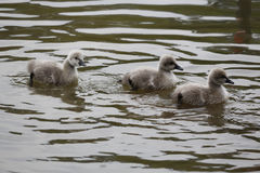 Baby black swans in the water Stock Images