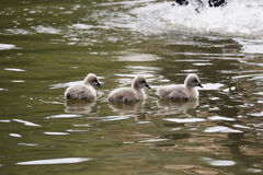 Baby black swans in the water Royalty Free Stock Images