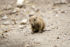 Baby Black-tailed prairie dog Stock Images