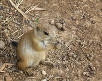 Free Baby Black-Tailed Prairie Dog (Cynomys Ludovicianus) Nibbling Stock Photos - 1066813