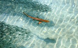 Baby Black Tip Shark Swimming in Pacific Ocean Clear Waters stock photography