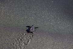 Baby Black Turtles. Black turtle baby walking on the sand beach stock photos