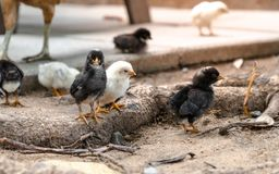 Baby black chicken, domestic animal with its family. Baby black and white chicken, domestic animal with its family royalty free stock image