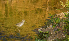 Baby Black-winged Stilt in shallow waters. A fledging Black-winged Stilt - Himantopus himantopus - stalking in the shallow waters of a river in Southern Europe stock photography