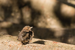 Baby blackbird basking Royalty Free Stock Images