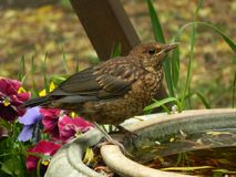 Baby blackbird Stock Image