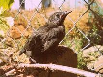 Baby Blackbird Fledgling Royalty Free Stock Image