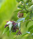 Baby Blackbird hiding in a bush Royalty Free Stock Photography
