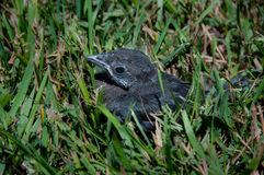 One lonely baby blackbird royalty free stock photo