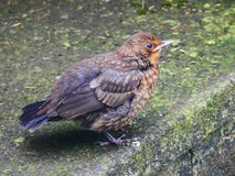 Baby Blackbird royalty free stock photography