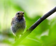 Baby blackbird Stock Images