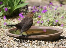 Baby Blackbird Stock Photos