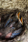 Baby blackbirds. In a nest Stock Photos