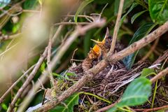Baby blackbirds in nest with beaks open. Waiting to be fed stock photos