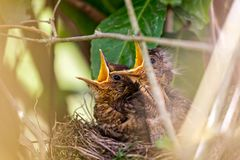 Pair of baby blackbirds in nest waiting to be fed stock image