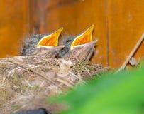 Baby blackbirds in the nest Stock Photo
