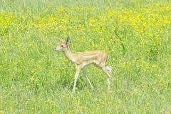 Baby Blackbuck Antelope (Antilope cervicapra) Royalty Free Stock Image