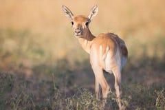 Baby Blackbuck antelope Royalty Free Stock Photos