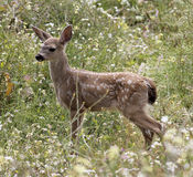 Baby Blacktail Fawn (Columbian Blacktailed Deer). A Baby Blacktail Fawn in a Field of Wildflowers stock photos