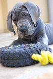Baby Blue. 9 week old great dane at play Stock Images