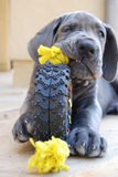 Baby Blue. 9 week old great dane at play Stock Image