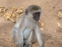 A baby blue balled monkey royalty free stock photo