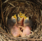 Baby blue-birds in a nest Stock Images