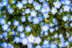 Baby blue eyes flower background, scientific name Nemophila menziesii Royalty Free Stock Image