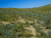 Baby blue eyes flower field California. Baby blue eyes flower field in California bloom royalty free stock photos