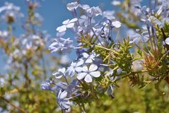 Baby Blue Flowers. Beautiful baby blue flowers against a deep blue sky Stock Photography