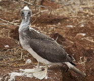 Baby Blue Footed Booby Royalty Free Stock Photo