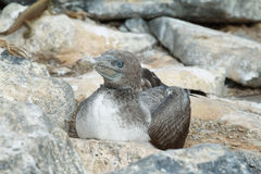 Baby Blue-footed Booby in Genovesa island Stock Photography