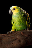 Baby Blue-fronted Amazon Royalty Free Stock Photos