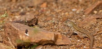 Baby Blue-headed Whiptail Lizard Stock Image