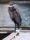 Baby Blue Heron Royalty Free Stock Image