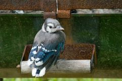 Baby Blue Jay. A baby blue roosts on a handle after leavinf the nest.  Wooden handle with metal body of a portable fire pit, rust included gives a rustic look to Royalty Free Stock Photo