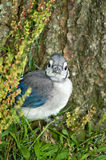 Baby Blue Jay. A baby blue jay hides close to the trunk of a tree shortly after leaving the nest Royalty Free Stock Image