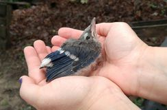 Baby blue Jay bird. This is an adorable picture of the baby Bluejay held in my hands after it fell out of its nest . Fortunately we were able to get back to its Stock Image